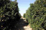 Naranja, características, variedades, propiedades y beneficios. Naranjo árbol