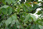 Nogal (juglans regia): Características, cultivo y cuidados. Su fruto, las nueces, propiedades y beneficios
