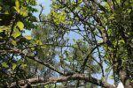 Pera: características, propiedades y beneficios. Peral (Pyrus communis), cultivo y cuidados