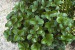 Plantas venenosas, cómo son, clasificación según toxicidad, ejemplos