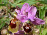 Mimetismo en las plantas, características, ejemplos y tipos