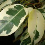 Ficus, un género de plantas muy diversificadas, características, tipos
